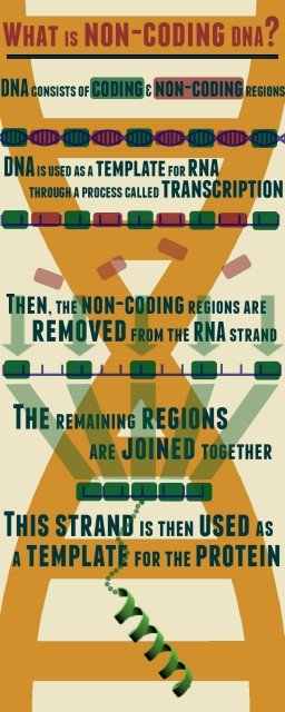 Non-coding-DNA-infographic