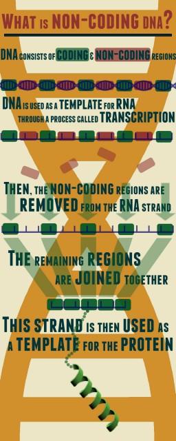 Non-coding-DNA-infographic