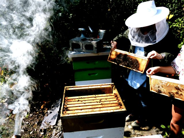 "Beekeepers use smoke to protect themselves from getting stung. Smoke works by masking defensive hormones released by ""guardian bees"" – thereby temporarily shutting down the hive's defensive response and allowing the beekeeper to safely open the hive."